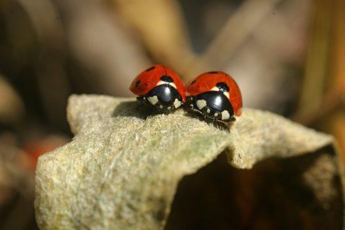 2匹のてんとう虫たち